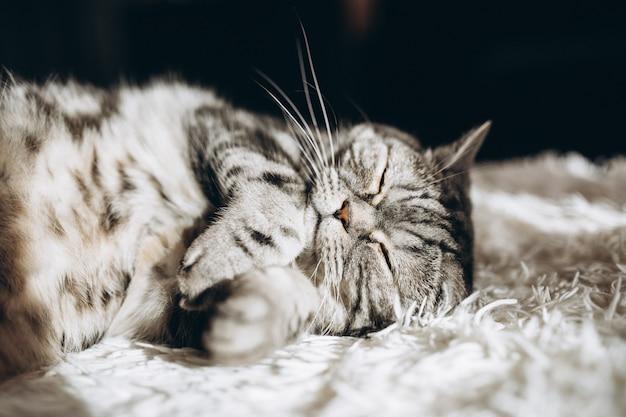 Chat domestique endormi sur le canapé