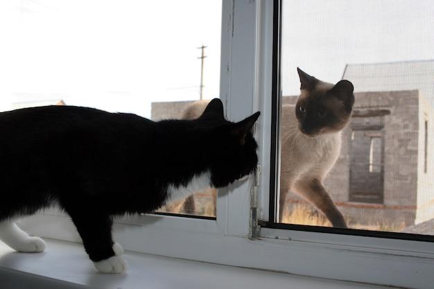 Chat domestique noir et un chat siamois dehors en train de se regarder