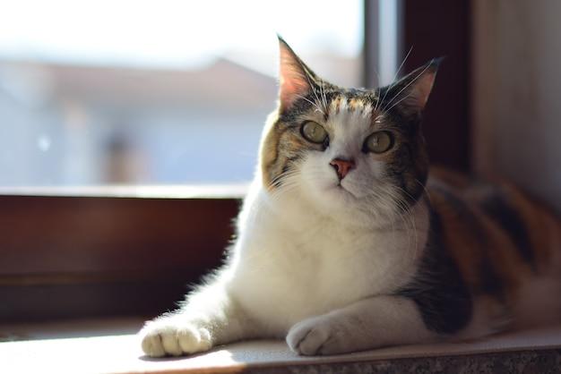 Chat domestique à poil court assis sur un rebord de fenêtre