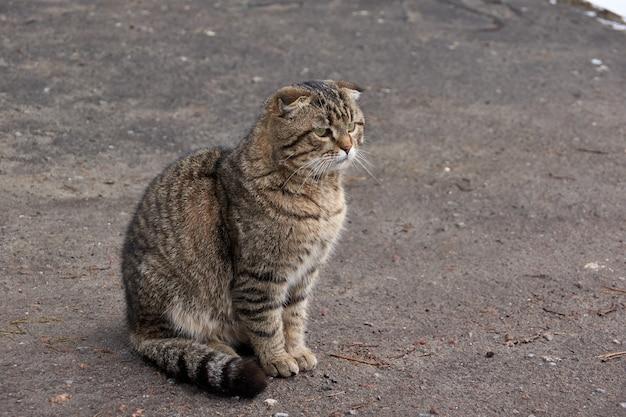 Chat domestique se promène dans la cour de la maison et gagne en appétit.