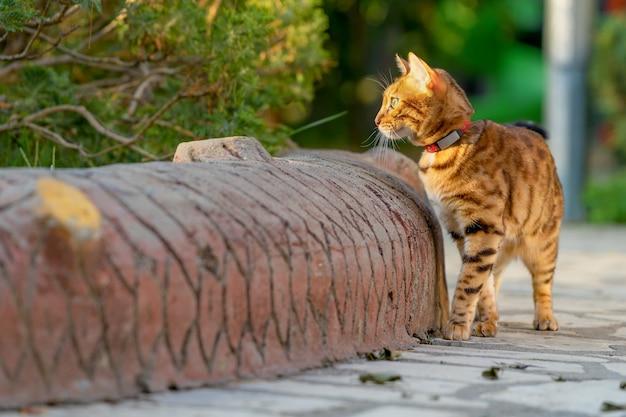 Le chat domestique se promène dans le parc de la ville.