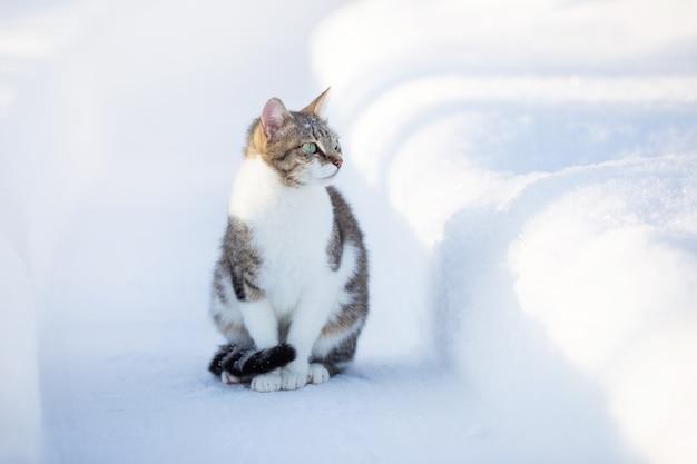 Le chat domestique se promène en hiver dans la cour assis sur le chemin entre les congères
