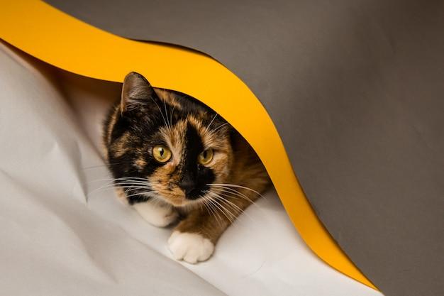 Le chat domestique à trois chats joue dans des feuilles whatman de gris, blanc et jaune. la feuille essaie de se dérouler dans un tuyau. un chaton mignon et magnifique avec un look ludique raille.