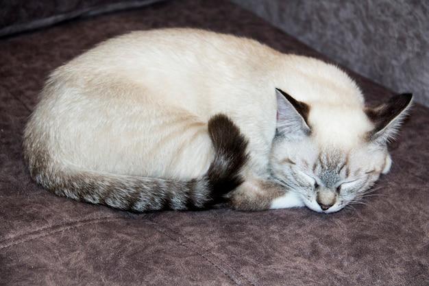 Le chat dort recroquevillé sur le canapé. le chat blanc était recroquevillé sur le canapé.