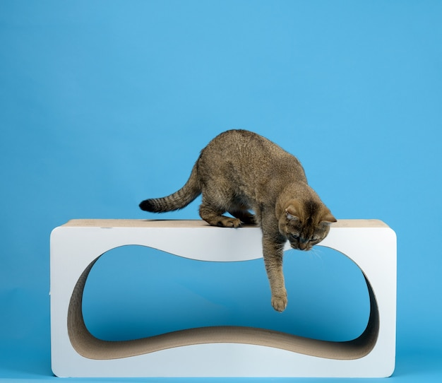 Chat droit écossais gris adulte se tient sur un poteau à gratter en papier sur fond bleu, l'animal saute de l'objet