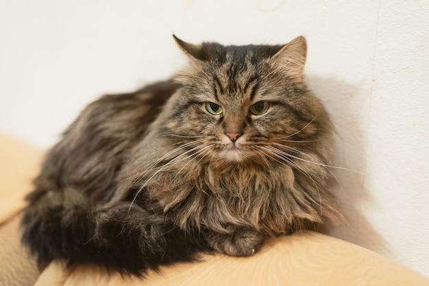 Chat drôle en colère à la maison