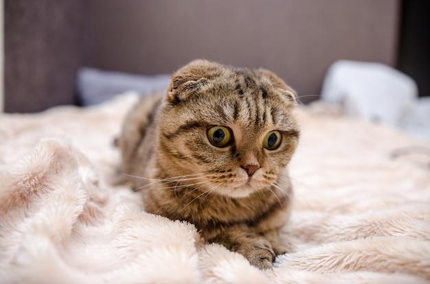 Chat drôle mignon allongé sur le lit à la maison. chat écossais