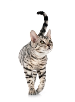 Chat du bengale sur blanc isolé