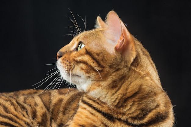 Chat du bengale doré sur mur noir