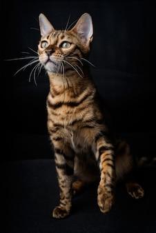 Chat du bengale sur fond noir