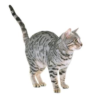 Chat du bengale isolé