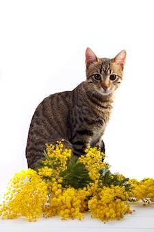 Chat du bengale et mimosa