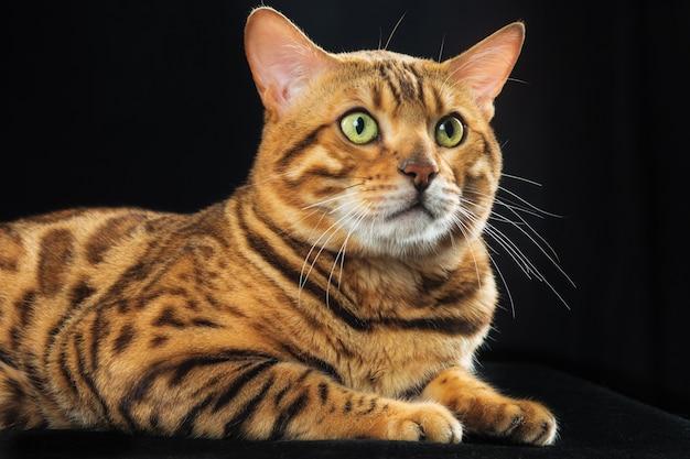 Le chat du bengale en or