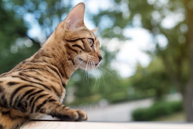Chat du bengale regarde par la fenêtre