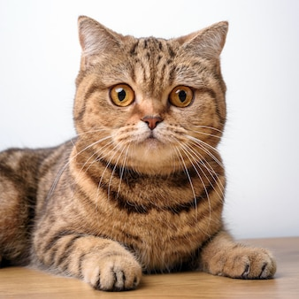 Chat du bengale sur une table