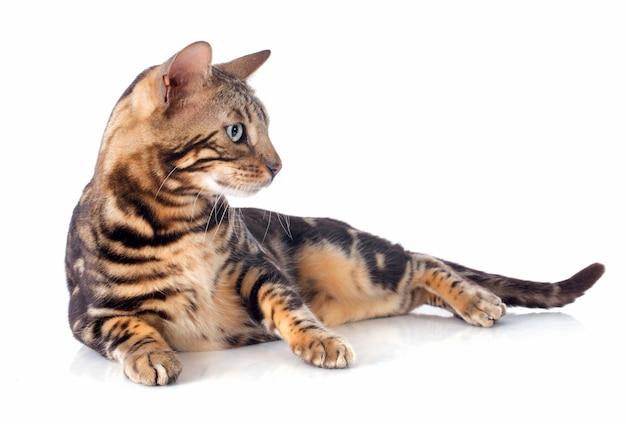 Chat du bengale