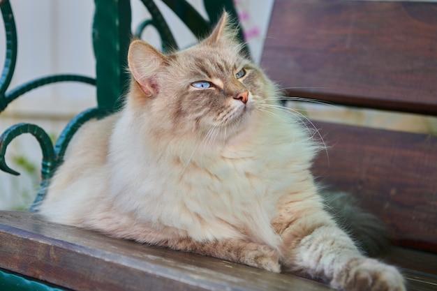 Le chat duveteux gris aux yeux bleus se trouve sur une surface en bois. chat heureux avec une expression faciale intéressée, question ou satisfaite. animaux de compagnie et concept de mode de vie.