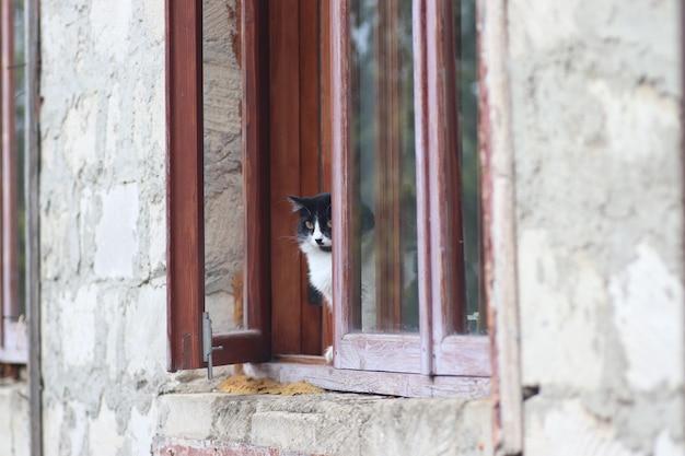 Un chat duveteux noir et blanc se tient à la fenêtre le chat est sorti par la fenêtre par une journée ensoleillée