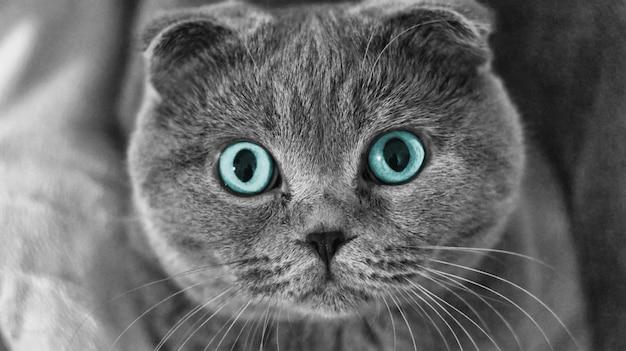 Chat écossais aux yeux bleus