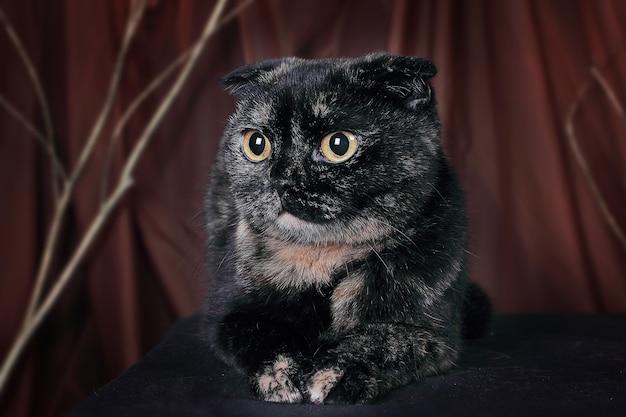 Chat écossais couleur tortue