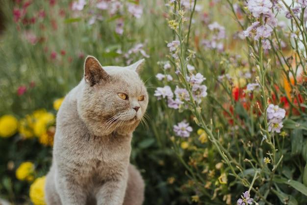 Chat écossais gris est assis dans le jardin