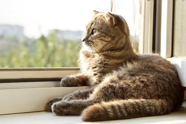 Un chat écossais à oreilles lâches de couleur grise avec des yeux jaune vif se trouve sur la fenêtre.