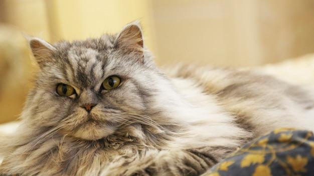 Un chat écossais à poil long et droit se trouve sur l'oreiller. le beau chat pelucheux gris se repose