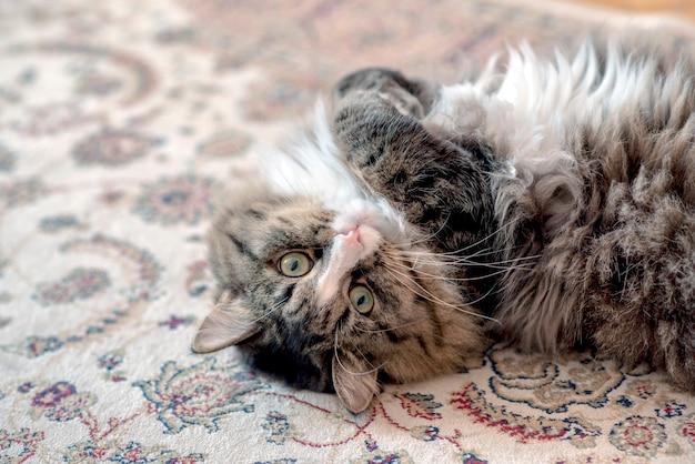 Le chat est allongé sur le sol. chat reposant sur le tapis.