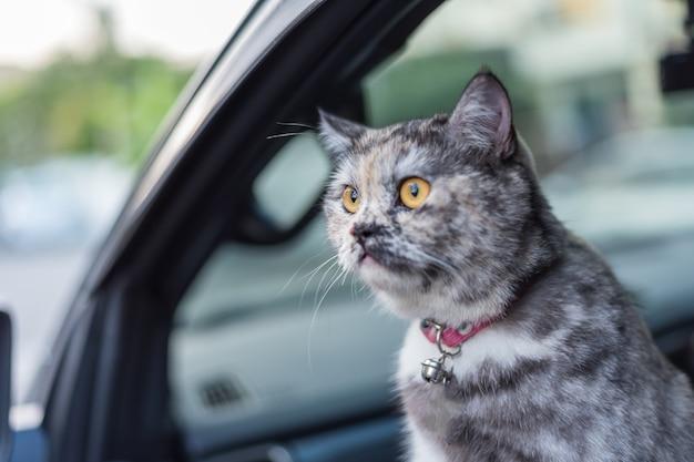 Le chat est un mammifère de type animal et sa couleur grise si mignonne