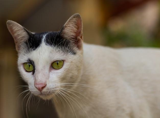 Le chat est très mignon et blanc chat thaïlande dans la maison.