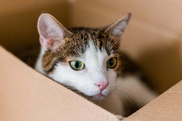 Chat européen dans une boîte de livraison