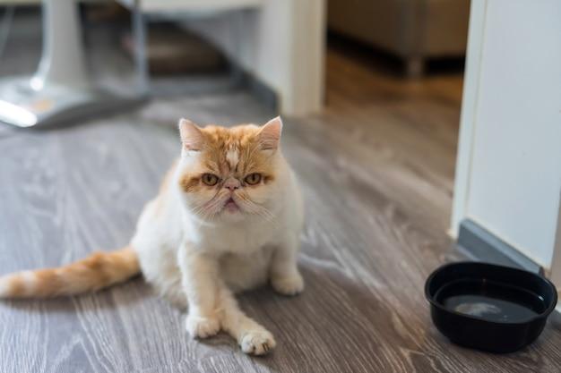 Chat exotique shorthair mignon dans la maison