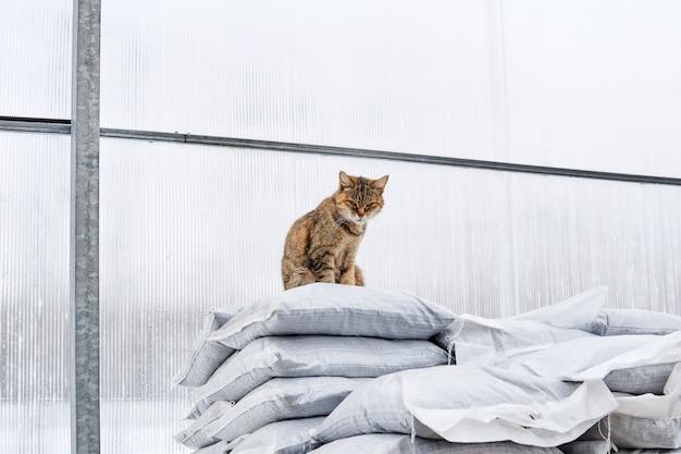 Le chat de ferme est assis sur une pile de sacs près du mur transparent de la serre, chassant les rongeurs