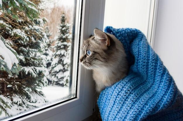 Chat flaffy mignon aux yeux bleus recouvert d'un foulard bleu tricoté