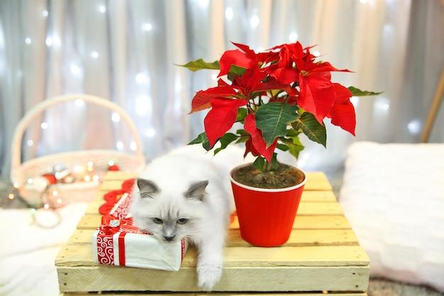 Chat et fleur de noël poinsettia d'intérieur