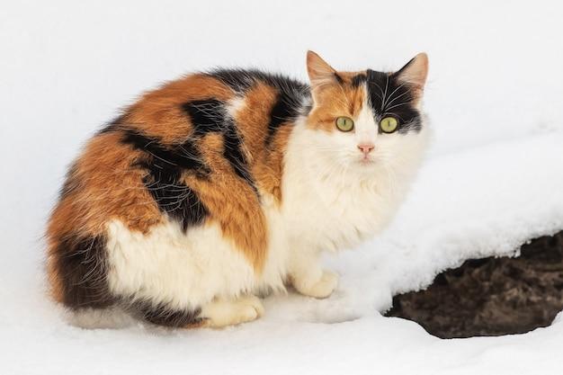Chat avec fourrure blanche, noire et brune en hiver dans la neige
