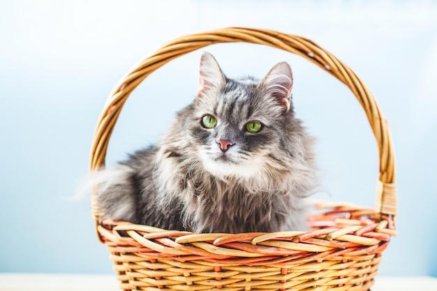 Chat fronçant gris moelleux assis dans un panier sur un fond clair.