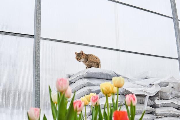 Le chat garde une serre chaude avec des tulipes des rongeurs
