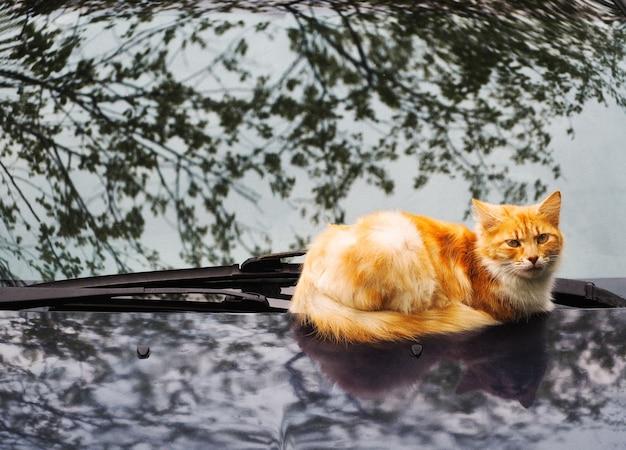 Chat de gingembre allongé sur le capot de la voiture avec fond de réflexion des arbres