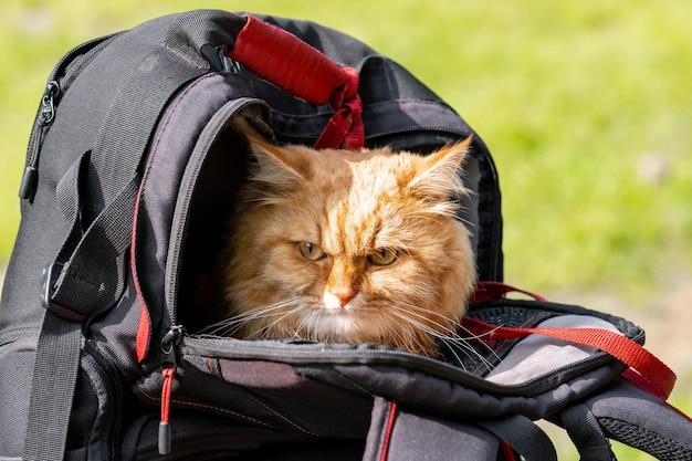 Le chat de gingembre fait de la randonnée, assis dans un sac à dos