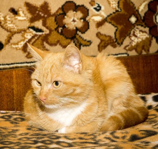 Chat gingembre mignon