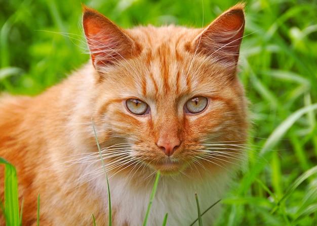 Chat gingembre moelleux assis sur l'herbe verte dans le jardin de printemps
