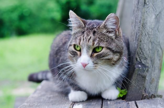 Chat gris aux yeux vert vif sur un banc en bois à l'extérieur.