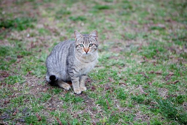 Chat gris aux yeux verts