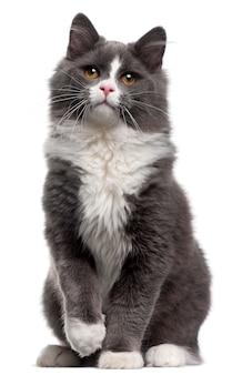 Chat gris et blanc, 5 mois, assis