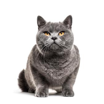 Chat gris british shorthair, isolé sur blanc