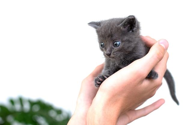 Chat gris dans les mains sur un fond blanc isoler. chaton nouveau-né de race britannique aux yeux bleus et cheveux gris