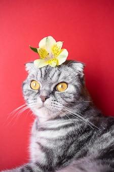 Chat gris drôle de pli écossais aux yeux jaunes sur fond rouge. sur la tête du chat est une petite fleur jaune. le concept du printemps, des vacances, ainsi que des allergènes populaires. image mignonne d'un animal de compagnie.