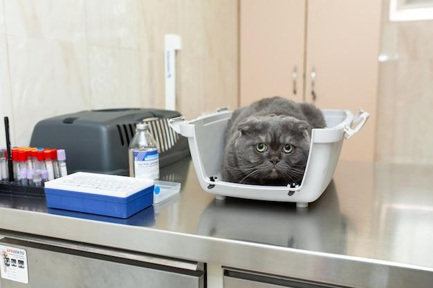 Chat gris effrayé dans une boîte en plastique attendre la procédure en clinique vétérinaire.