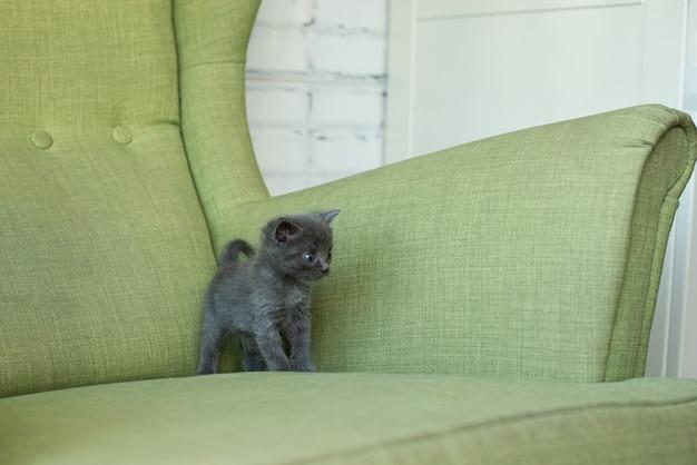 Chat gris sur un fauteuil vert. chaton sur les meubles. animaux dans la maison.